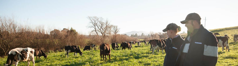 Farmer couple in paddock amongst cows