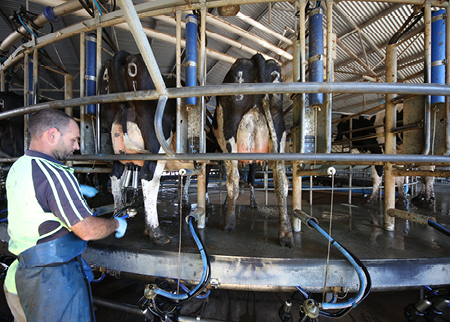 farmer milking cows in a rotary dairy