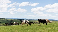 Cows grazing on lush green paddock